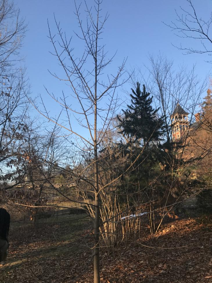 Pawpaw | Yale Nature Walk