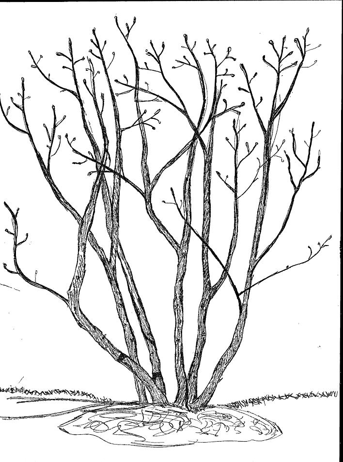 Magnolia Tree Bark Description