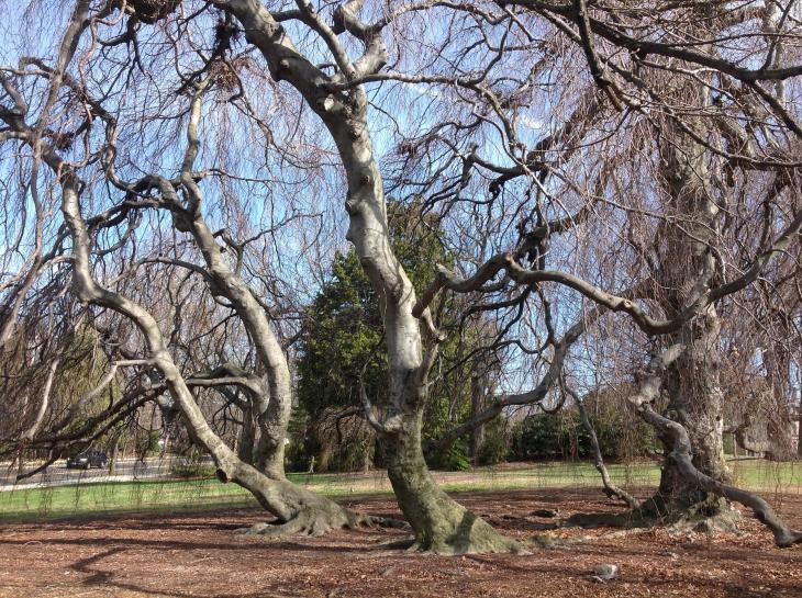 Weeping Beech Yale Nature Walk