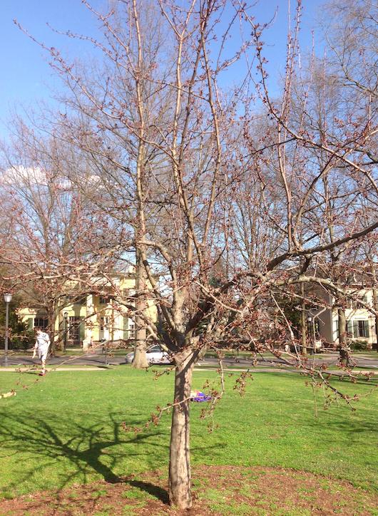 Crabapple Tree Yale Nature Walk