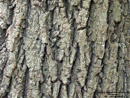 Eastern Black Walnut | Yale Nature Walk