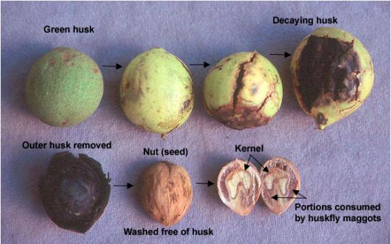 black walnut tree fruit 92655 applestory