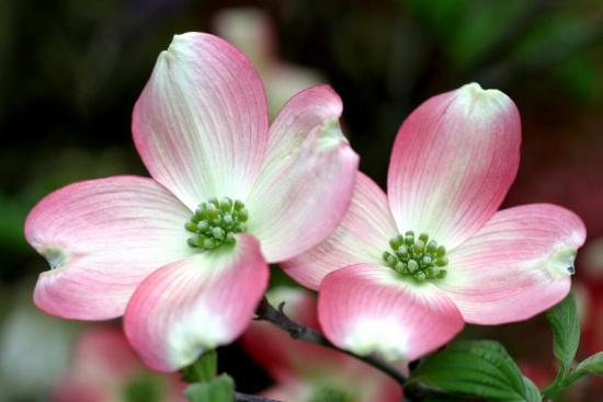 Flowering Dogwood Yale Nature Walk