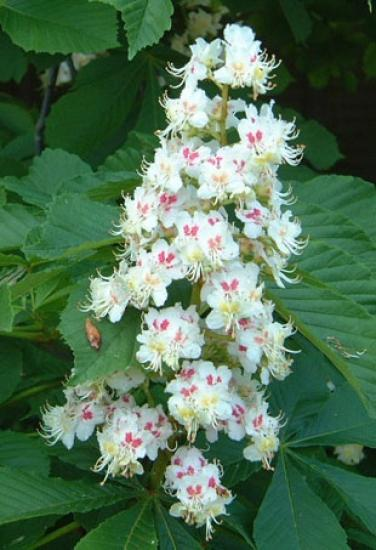 Image result for blooming horse chestnut tree