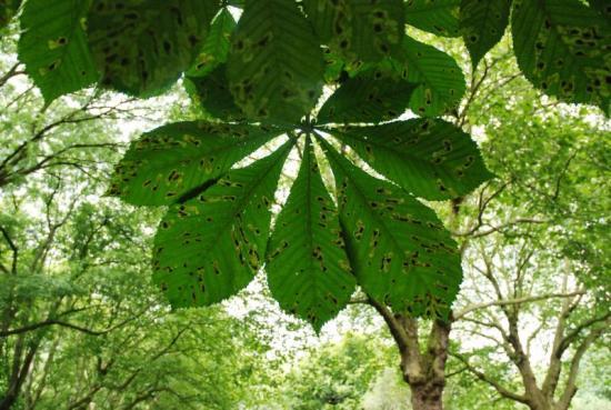 Horse Chestnut Yale Nature Walk