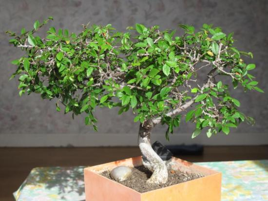Japanese zelkova yale nature walk for Arrosage plante interieur