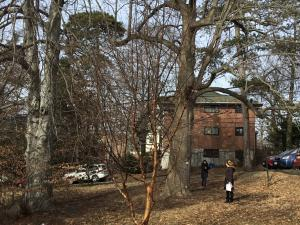 Image of Acer griseum